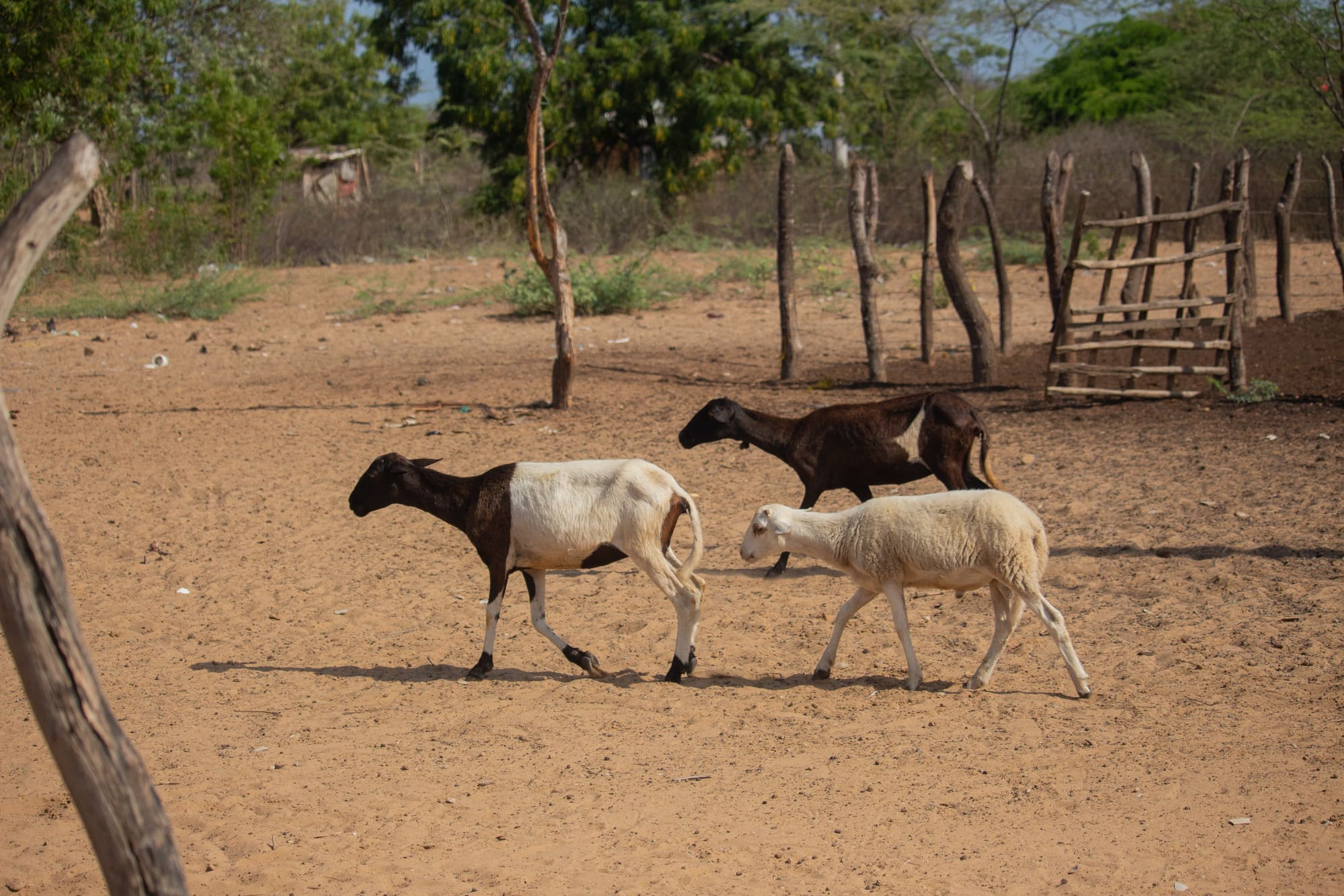 Wayuu goats. Goats in a ranchería